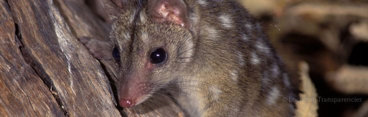 The Western Quoll used to be found over approximately 70% of mainland Australia, occurring in every State and Territory of the mainland. It is now only present in south-western Western Australia