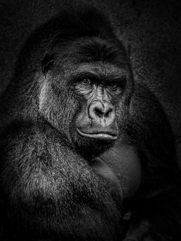 Beautiful pictures show human side of Harambe the gorilla