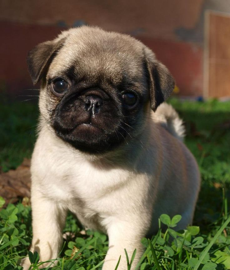 Pug Dog Breed Information and Pictures