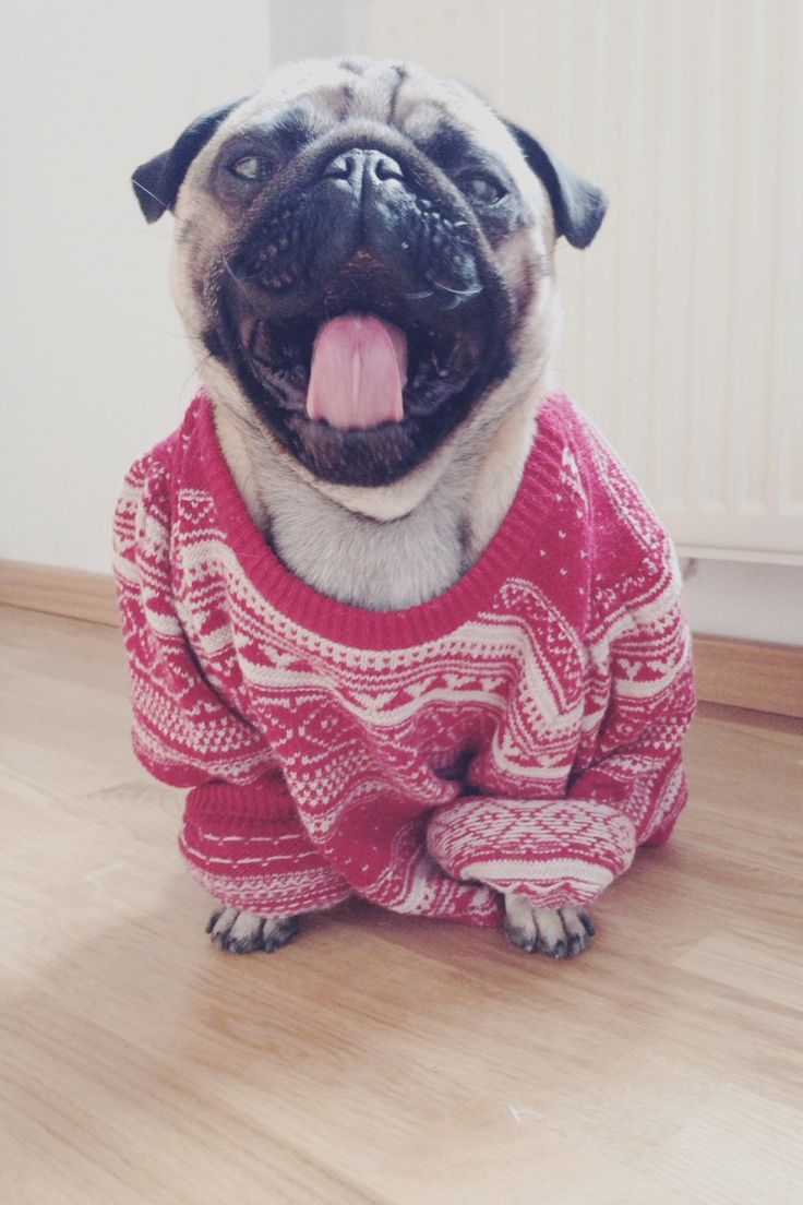 Pug Puppy Dogs In Clothes Dogsinclothes The Dogs In