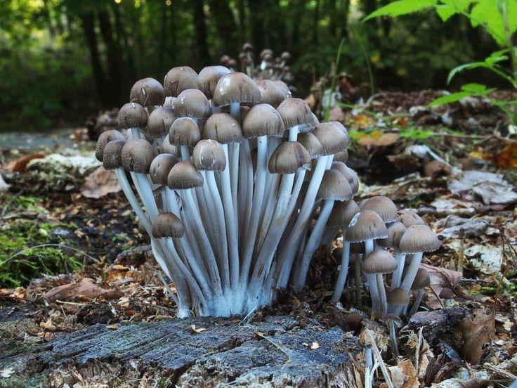 helmovka leponohá - Mycena inclinata, Chebsko - foto: Miroslav Tauš