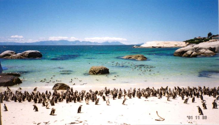 Penguins in Boulder's beach,South Africa