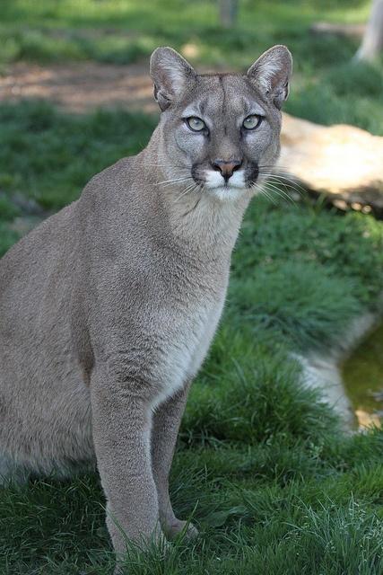 hvor du finner en cougars mandal