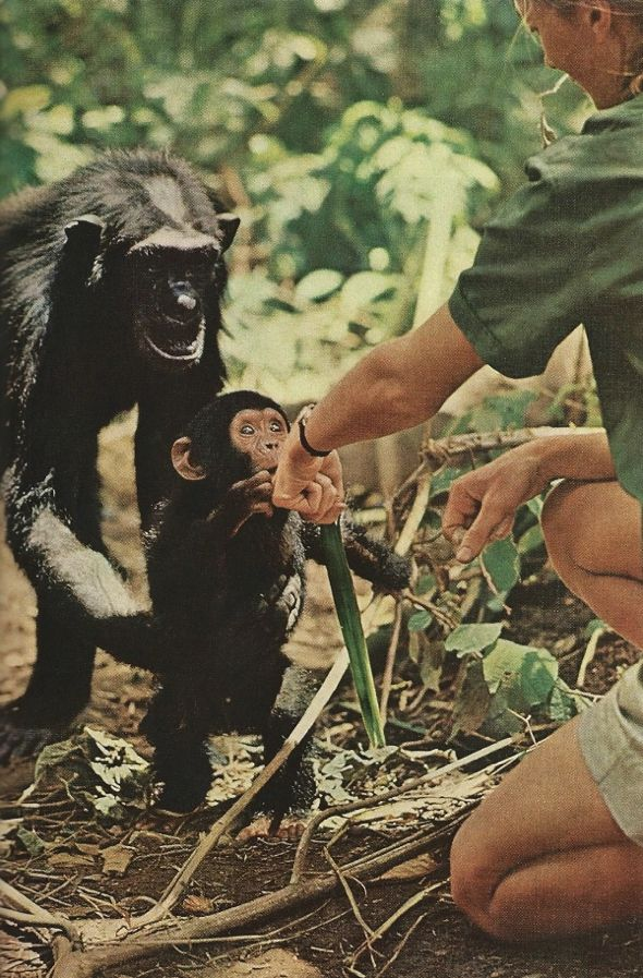 Little Flint introduces himself, but Mother Flo keeps a protective hold around his waist. Jane Goodall extends the back of her hand, fingers turned away