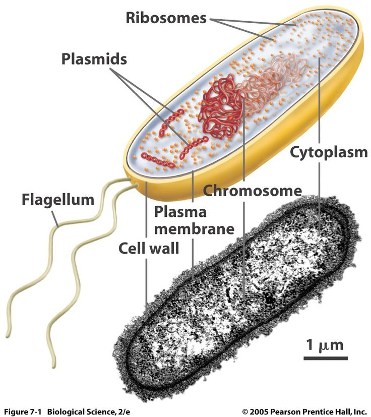 28 best all about bacteria images on pinterest ap biology biology pictures bacteria ccuart Choice Image
