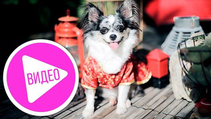 Чихуахуа Софи - первое видео знакомство)) Ностальгия! #собаки #чихуахуа #собака #чихуа #чихуахуасофи #видео  #ютуб