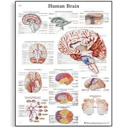 Glossy Laminated Paper Human Brain Anatomical Chart Best Brands Electronics Hardware Electrical Tools