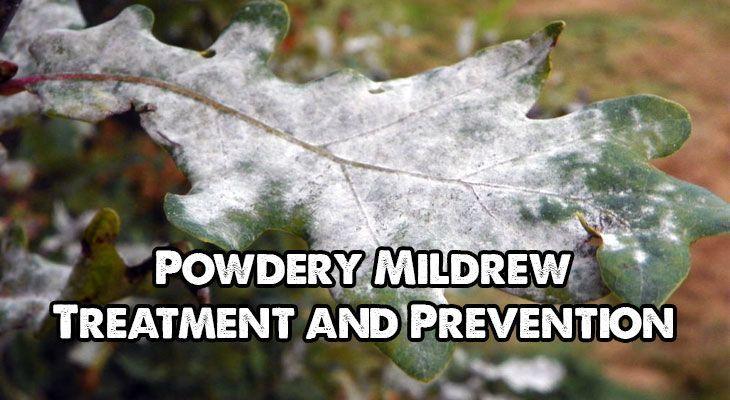 Powdery Mildew On Peonies Natural Remedies