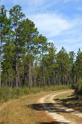 View of a pine forest in De Soto National Forest, Stone County, Mississippi