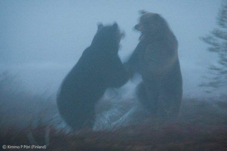 Ghost bears - Kimmo P Pöri - Wildlife Photographer of the Year 2012 : Behaviour: Mammals - Runner-up