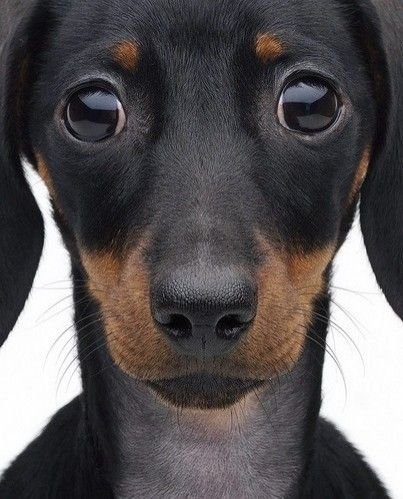 dackshund