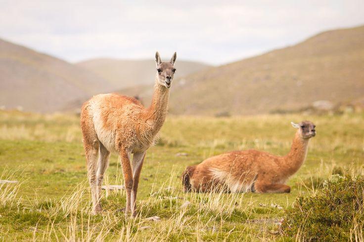 funny-cute-llama-guanaco-torres-del-paine