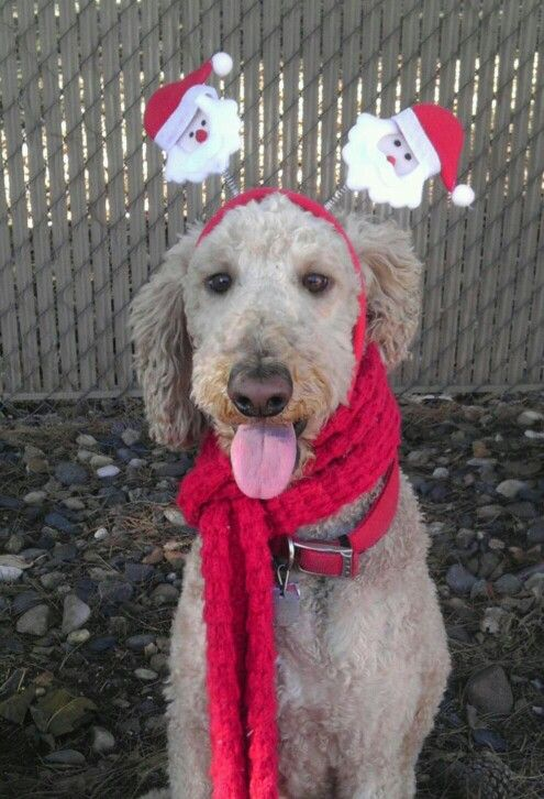 Adorable Christmas Labradoodle
