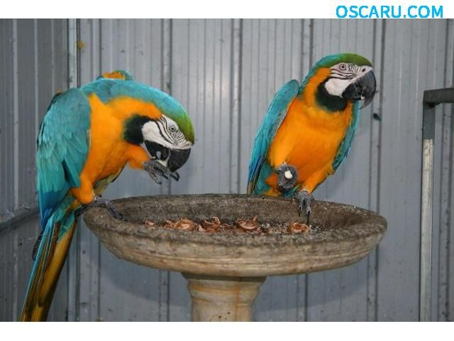 a pair of macaw parrots for sale