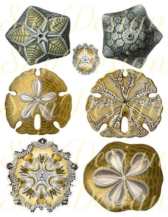 164 Best Images About I Love Sand Dollars On Pinterest