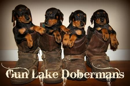 Gun Lake Doberman pincher puppies. Dobie pups. Dobie Doberman pups in boots. Georgia Doberman Breeder. Red doberman Sire.