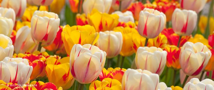 Tulip Torch Song ™ | Perennial Tulips Bulbs for Sale | COLORBLENDS