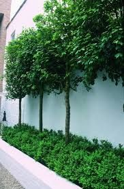Image result for espalier fruit trees courtyard