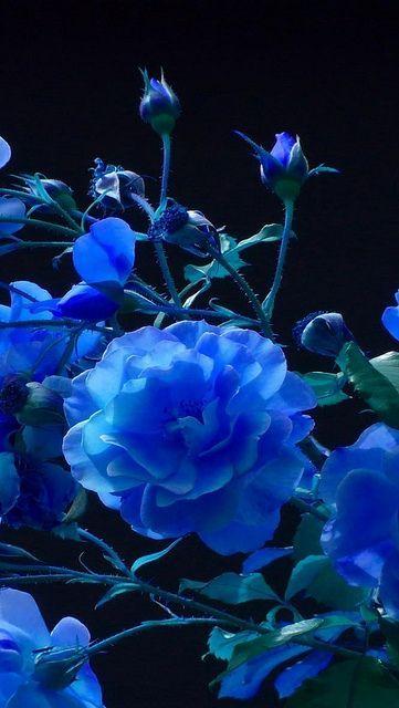 "missfairyblossom: ""rose_buds_garden_blue_black_background_38655_640x1136 by vadaka1986 on Flickr """