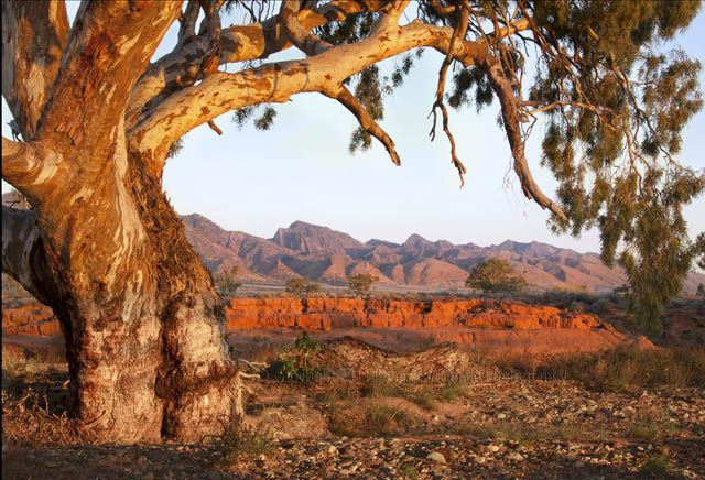 A River Red Gum frames the Parachilna Creek & view to the ABC Range - Flinders Ranges, South Australia