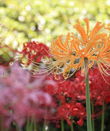 マンジュシャゲ(ヒガンバナ)(曼珠沙華)は9月に咲くヒガンバナ科の花。人里に近い川岸や田の縁などに生える。に生息する多年草。花言葉は「情熱」。花茎の先に赤い花をつける。花被片は6枚で強くそり返り、長い雄しべが目立つ。鱗茎にリコリンというアルカロイドを含み、有毒植物とされている。漢方では鱗茎を石蒜(せきさん)と言い、去痰、催吐薬にする。また鱗茎中には大量のデンプンが含まれ、水にさらすと食用になる。