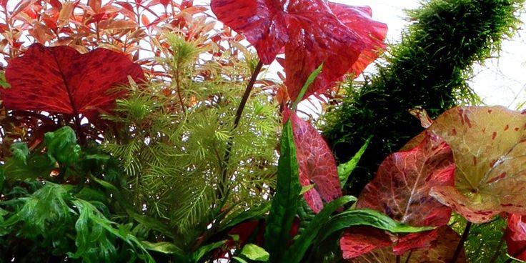 Nymphaea lotus - Tropica Aquarium Plants ♥✫✫❤️ *•. ❁.•*❥●♆● ❁ ڿڰۣ❁ La-la-la Bonne vie ♡❃∘✤ ॐ♥⭐▾๑ ♡༺✿ ♡·✳︎·❀‿ ❀♥❃ ~*~ SAT May 14th, 2016 ✨ ✤ॐ ✧⚜✧ ❦♥⭐♢∘❃♦♡❊ ~*~ Have a Nice Day ❊ღ༺ ✿♡♥♫~*~ ♪ ♥❁●♆●✫✫ ஜℓvஜ