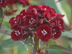 Dianthus barbatus 'Heart Attack' - Plant Finder