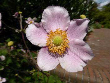 """Einer der schönsten Herbstblüher ist die japanische Anemone. Die richtige Sortenwahl und ein geeigneter Standort sind die Garanten für ein gutes Wachstum. Auf hohen Stielen tanzen die Schalenblüten der Anemonen im Wind. Das griechische Wort Anemos für Wind stand Pate für die anmutigen Blumen aus der Familie der Hahnenfußgewächse, deren deutscher Name folgerichtig """"Windröschen"""" lautet."""
