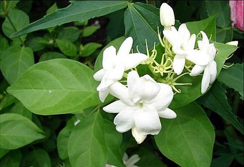 jasmine sambac - heaven scent. use the essential oil for migraines or for de-stressing & recentering