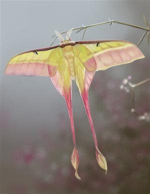 MothLuna Moth, Chine Moon, Moon Moth, Bugs, Nature, Butterflies, Insects, Beautiful Creatures, Animal