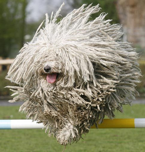 A flying mop with a mouth! A Puli dog named Fee jumps over a bar at an event held to promote the Dortmund dog show.