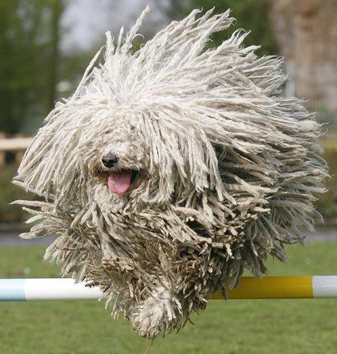 Puli Kutya (famous Hungarian herding dog)