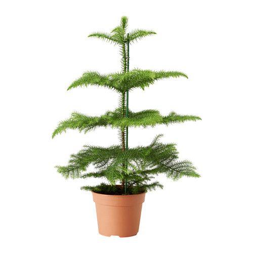 ARAUCARIA Krukväxt IKEA Dekorera ditt hem med växter, kombinerade med en kruka som passar din stil.