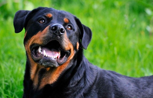 Rottweilers - Loyal, loving, protective.  A rottie that is well trained by responsible parents will be exeptionally well behaved and tolerant with children,  as demonstrated by our two Rotts, Jack and Chevy.