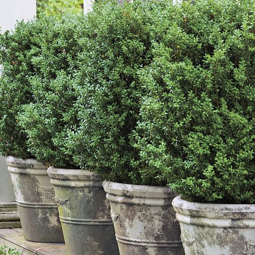 American boxwoods in 36-inch concrete pots serve as a low hedge. Potted boxwoods offer formal elegance with little maintenance. This large American variety creates a living wall in a line of concrete planters.