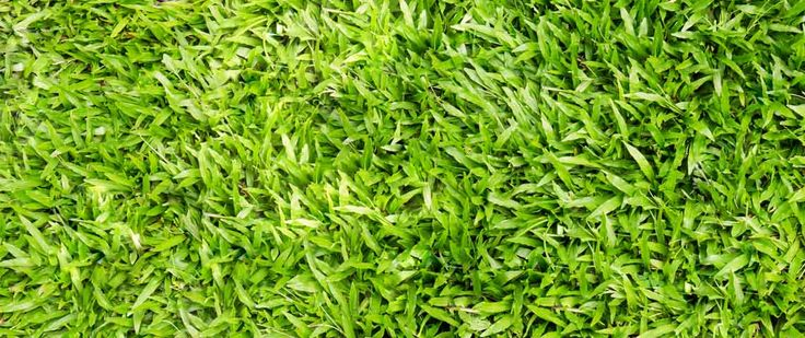 All You Need to Know About Centipede Grass Header