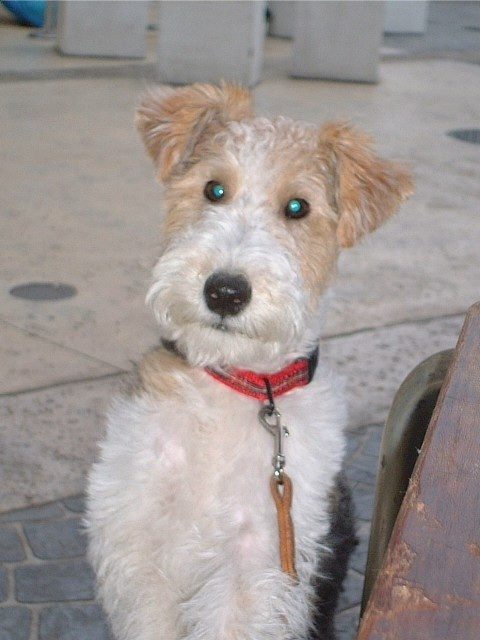 wire fox terrier poised for action