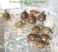 complete guide - caring for box turtle hatchlings