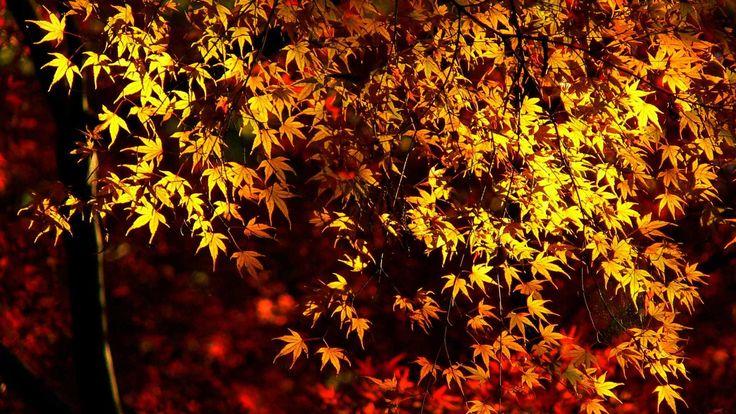 犬山寂光院 楓の紅葉の写真 飛騨木曽川国定公園 名鉄犬山遊園 継鹿尾山八葉連台寺