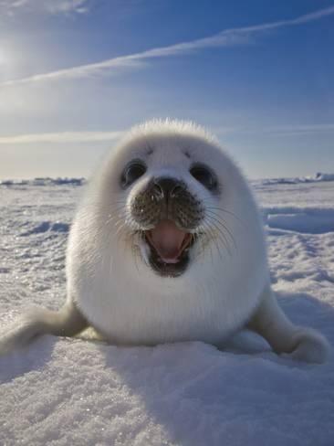 Harp Seal Pup on Ice, Iles De La Madeleine, Canada, QuebecBy Keren Su