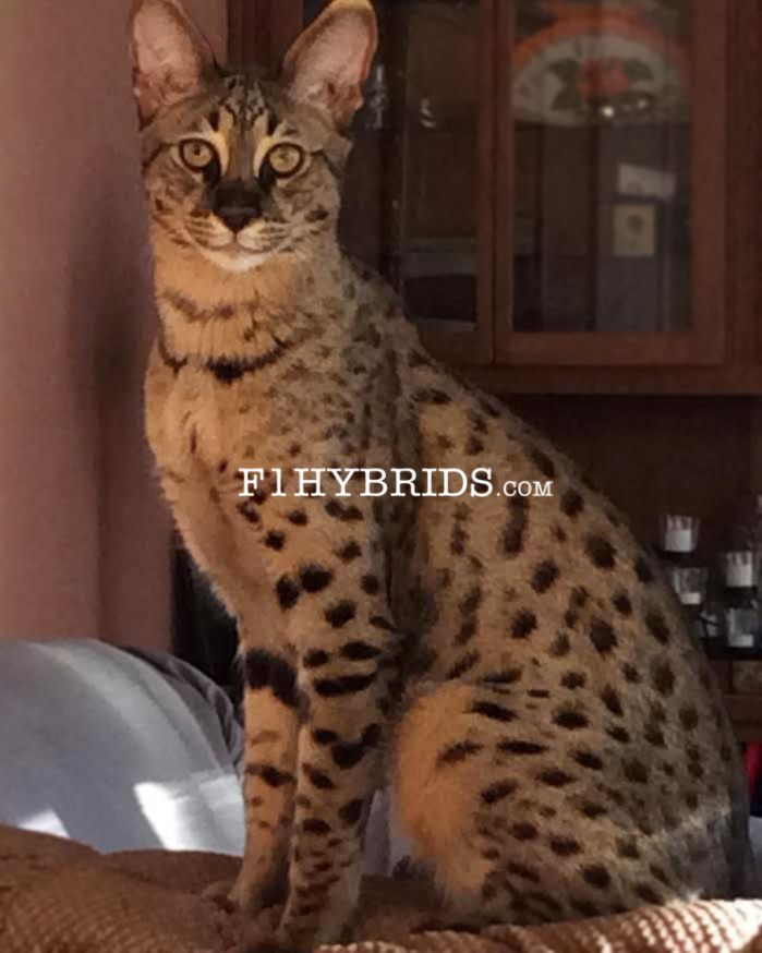 F2 Savannah Kittens For Sale Savannah Kitten Savannah Cat