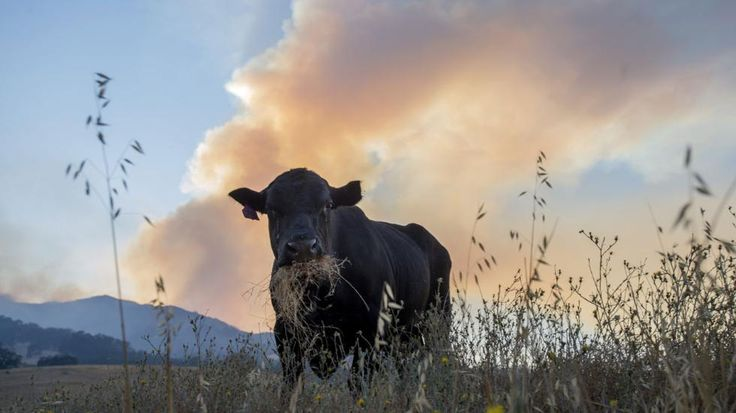 California Heat Wave Kills Thousands of Cattle and Overwhelms Dairy Industry