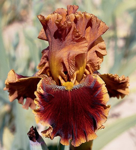 This Australian import inherited its color from its parent Rustler. Copatonic's upright standards are smoothly colored russet brown. Its flared and heavily laced ruffled falls are plush ruby red blended...