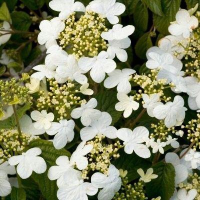 Viburnum de Chine 'Summer Snowflake' La Viorne Viburnum plicatum Summer Snowflake est un arbuste compact au remarquable port tabulaire. Pour apprécier au mieux sa silhouette étagée, on le plante en isolé sur la pelouse ou seul dans un grand bac. Découvrez aussi ►Toutes nos Viornes. La Viorne 'Summer Snowflake' possède un feuillage caduc avec des feuilles ovales, nervurées et vertes claires. Elles prennent de très belles couleurs rouges à l'automne.