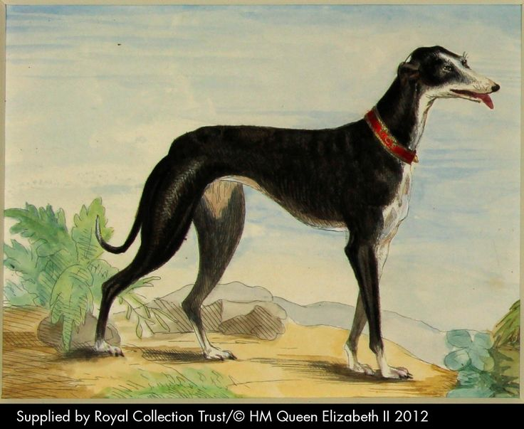 Italian Greyhound Queen Victoria Eos. Etching with wate...
