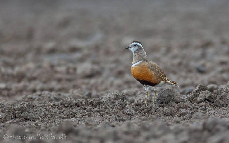 Pomeransfugl i Ribemarsken