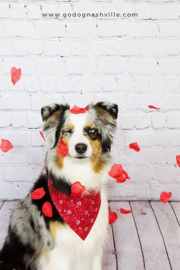 Valentine S Day Photo Shoot With Dog In 2020 Dog Valentines Dog Photoshoot Diy Dog Stuff