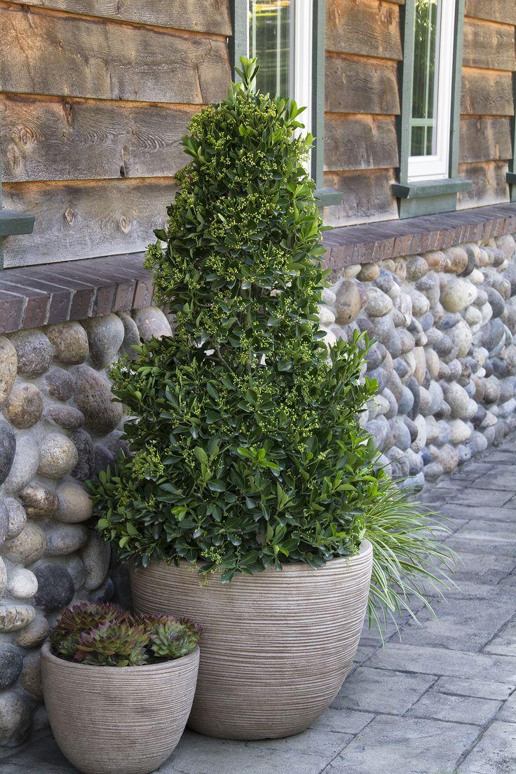25 best ideas about ligustrum on pinterest surrey for Wax landscape