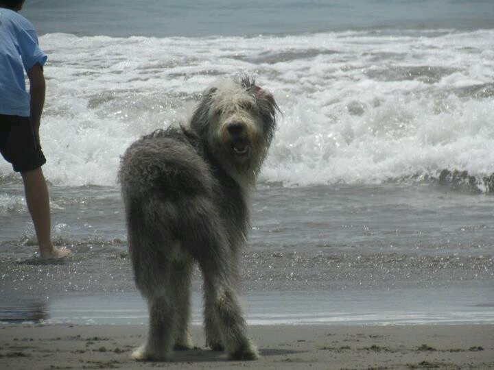 #OldEnglishSheepdog #Bobtail #ViejoOvejeroInglés #Dog #Mascotas #Animales #puppy