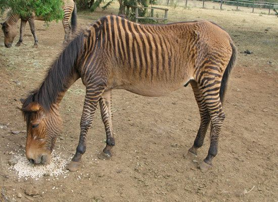 Wildlife Conservancy, Mt Kenya Safari Club (Zebroid pictured=zebra+horse)